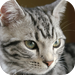 Blue-Eyed American Shorthair: Photo Collection
